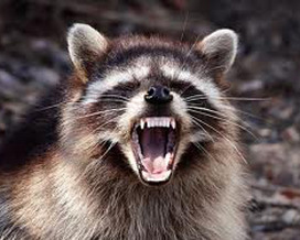 dream raccoon attack